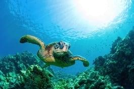 Schnorcheln mit Hawaiis Schildkröten