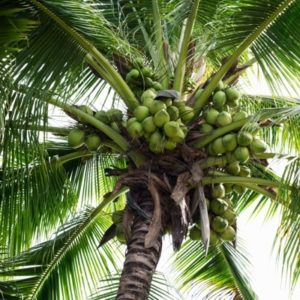 Kokosnusspalme auf Molokai