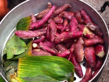 Taro Pflanze und Knolle auf Hawaii